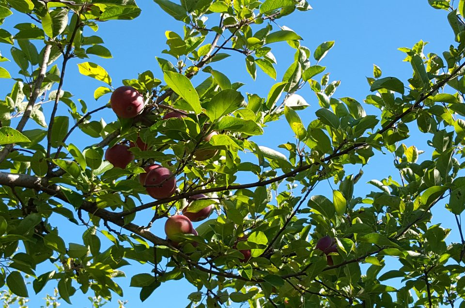 Places to go Apple Picking in and Around the Upper Valley